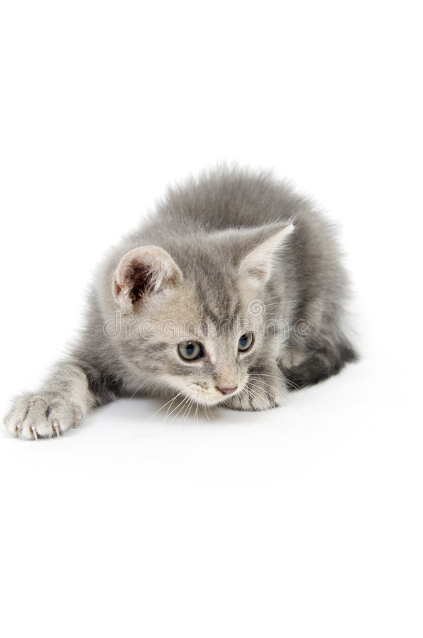Download Gray kitten hunting stock image. Image of eyes, isolated - 3579127