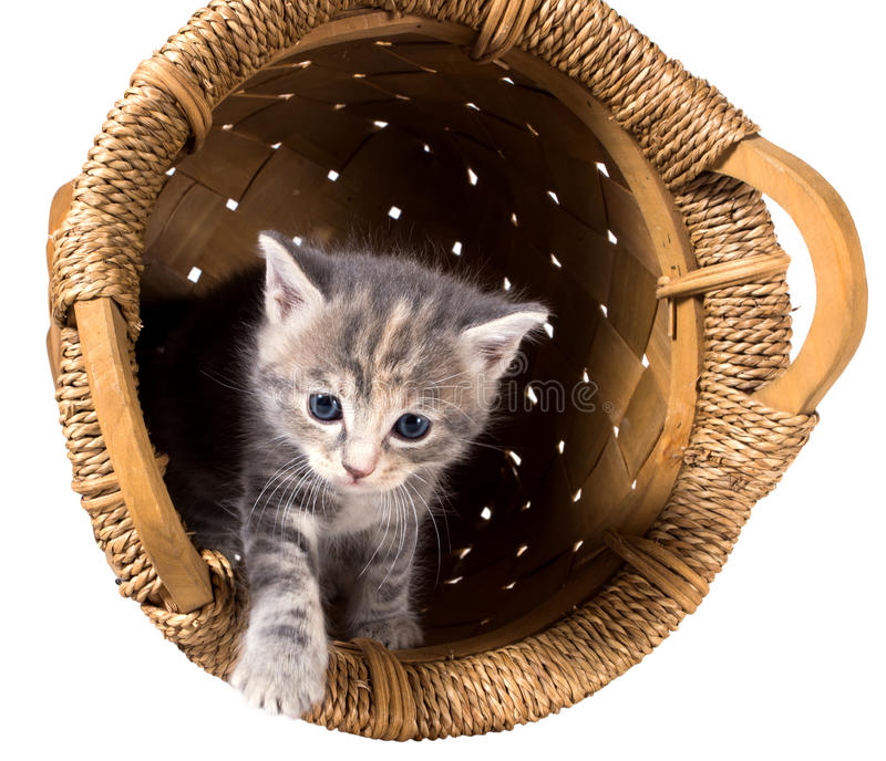 Gray kitten in the inverted basket. Gray kitten in the overturned basket isolated on a white background royalty free stock photography