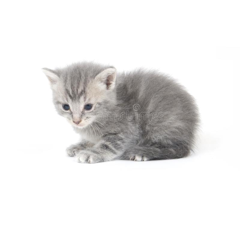 Gray kitten looking down royalty free stock photography