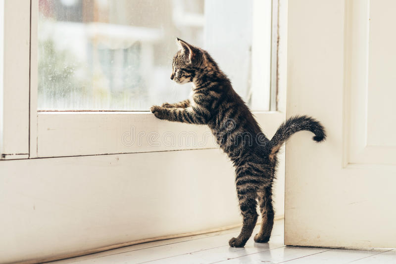 Gray Kitten Looking Outside Through Window curieux images stock