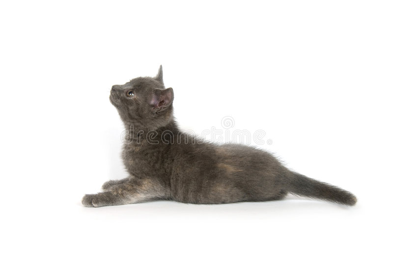 Gray kitten looking up royalty free stock photography