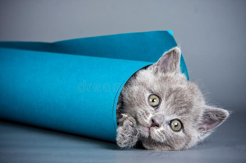 Gray kitten playing with paper. On a gray background royalty free stock photo