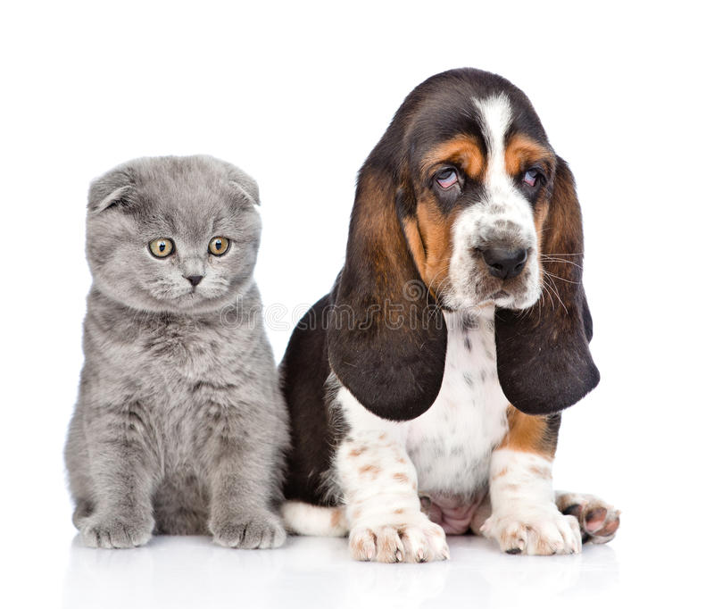 Gray kitten sitting with basset hound puppy. isolated on white.  royalty free stock photography
