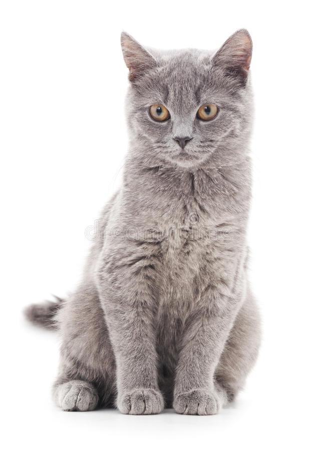 Gray kitten. Small gray kitten on a white background stock photo