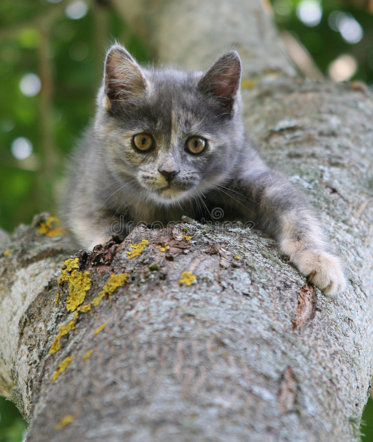 Gray kitten on a tree. Hunting little gray kitten on a tree stock photos