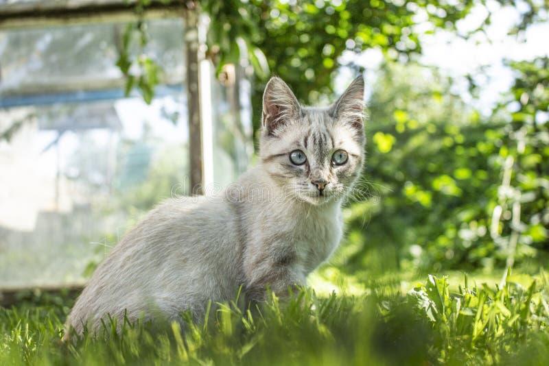Gray kitten walking on the green grass stock images