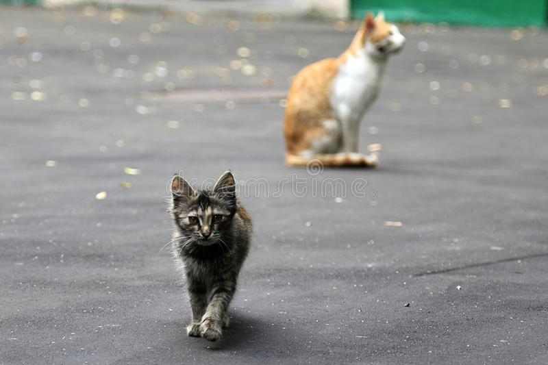 Gray kitten walking on thу street. His mother cat at background.  stock images