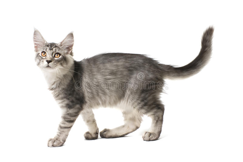 Gray kitten walks. Against white background royalty free stock photography