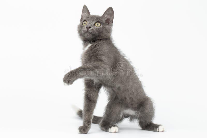 Gray Kitty Raising Paw juguetón y mirada para arriba en blanco imagenes de archivo