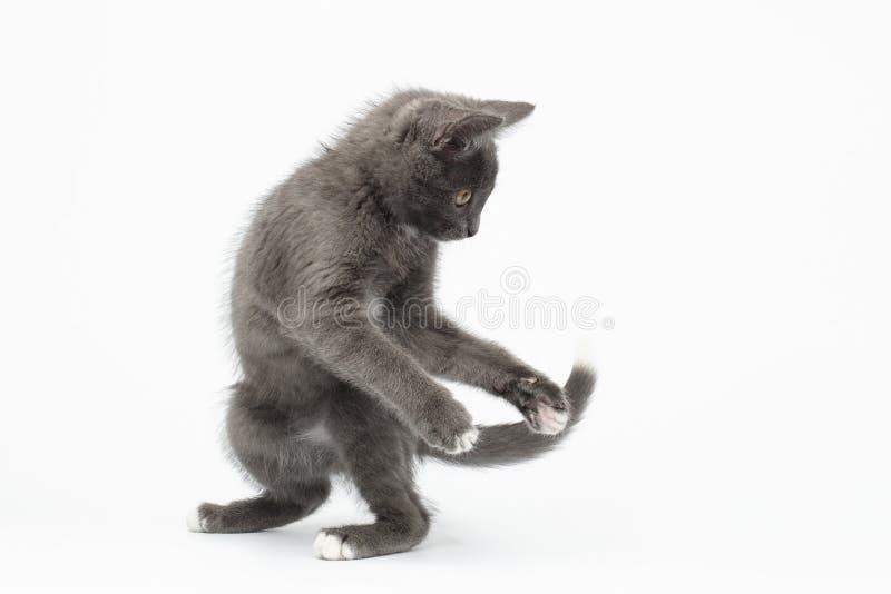 Gray Kitty Turned Back brincalhão no branco foto de stock