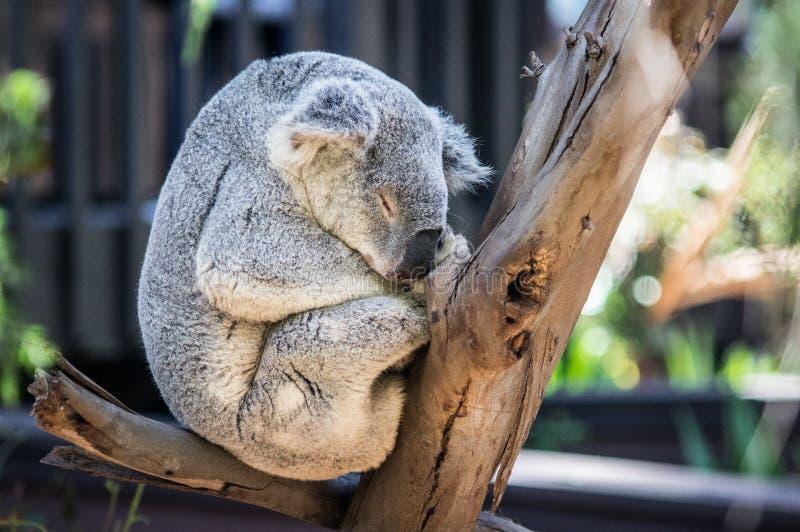 Gray Koala Bear de sono foto de stock royalty free