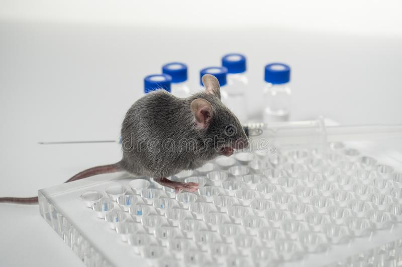 A gray laboratory mouse with an immunological plate, a syringe and vials. Concept - testing of drugs, vaccines stock images