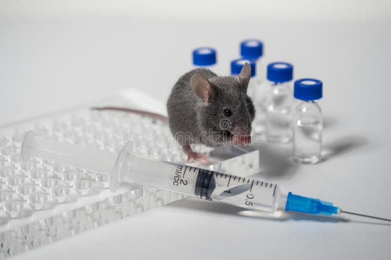 A gray laboratory mouse with an immunological plate, a syringe and vials. Concept - testing of drugs, vaccines stock image