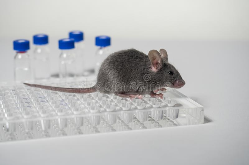 A gray laboratory mouse with an immunological plate and vials. royalty free stock photos