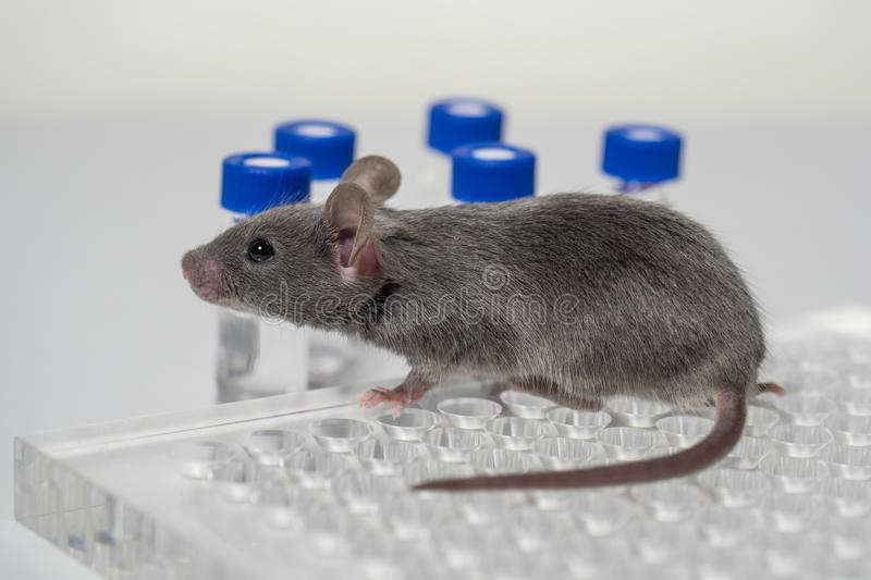 A gray laboratory mouse with an immunological plate and vials. stock photography