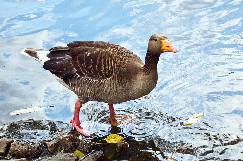 Gray Lag Goose Royalty Free Stock Photography