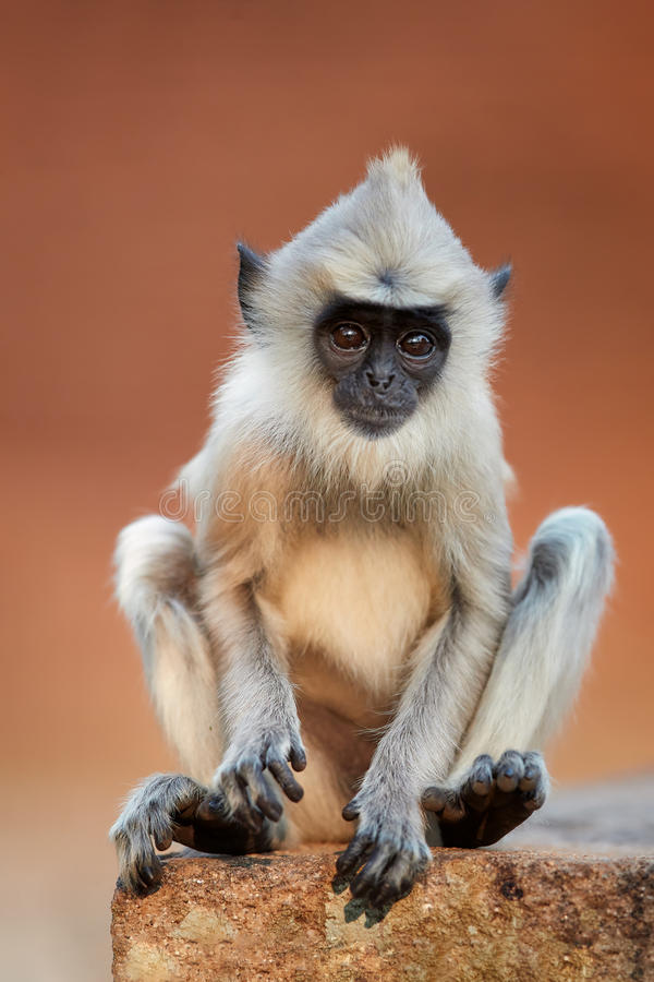 Gray langur baby, close up monkey, vertical. Vertical photo of Gray langur, Semnopithecus entellus, close up monkey baby sitting on the brick wall against red stock photos