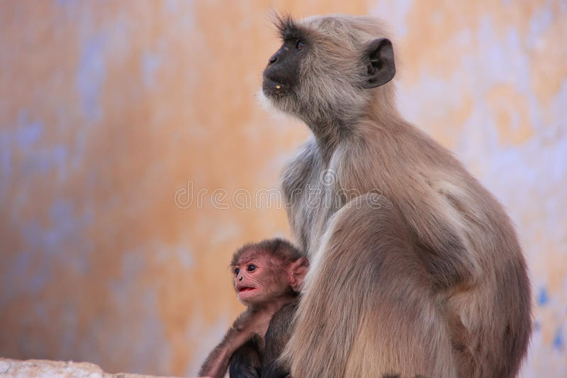 Gray langur with a baby sitting at the temple, Pushkar, India. Gray langur with a baby sitting at the temple, Pushkar, Rajasthan, India royalty free stock images