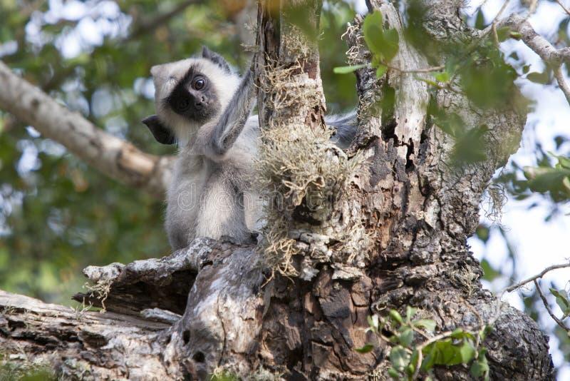 Gray Langur copetudo mira fijamente la cámara dentro del parque nacional de Yala en Sri Lanka meridional imagenes de archivo