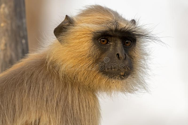 Gray Langur facing in sunlight royalty free stock photography