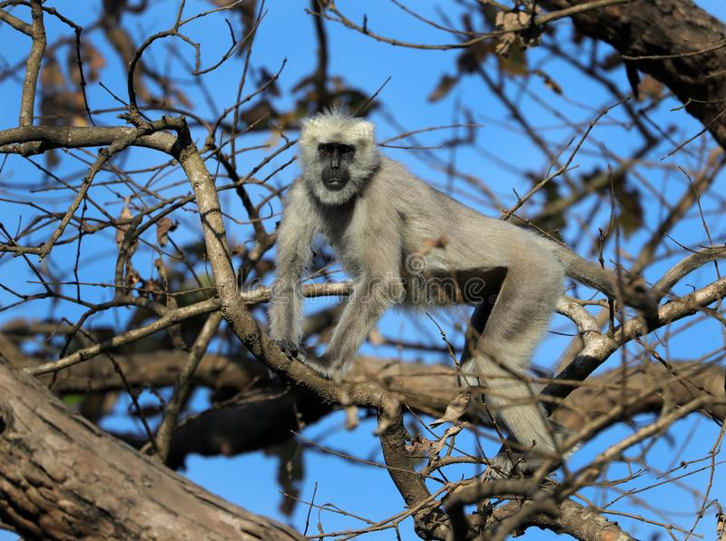 Gray langur. Also called Hanuman langur is a genus of Old World monkeys native to the Indian subcontinent. Traditionally only one species Semnopithecus royalty free stock photo