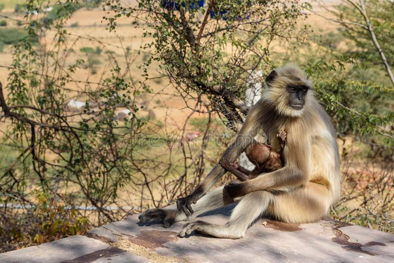 Gray langur monkey near Savitri Mata temple on Ratnagiri hills in Pushkar. India. Gray langur monkey near Savitri Mata temple on Ratnagiri hills in Pushkar royalty free stock image