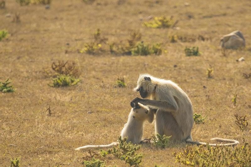 Gray Langur Mother Preening Baby royaltyfria foton