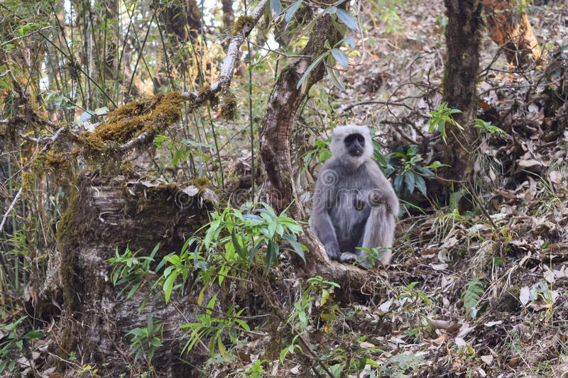 Gray Langur relaxes in Binsar wildlife sanctuary during a summer afternoon. Wide variety of animals are present in Binsar wildlife sanctuary situated in Almora royalty free stock images
