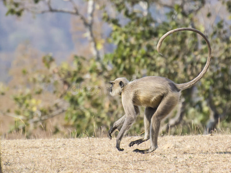 Gray Langur. (Semnopithecus hypoleucos) running in the forest of Madhya Pradesh royalty free stock photo
