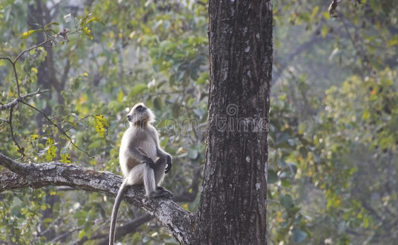 A gray langur sitting on a tree and looking up stock photo