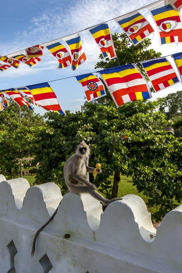 Gray Langur tufté a plaisir à manger une banane chez le Thuparama Dagoba dans Sri Lanka images libres de droits