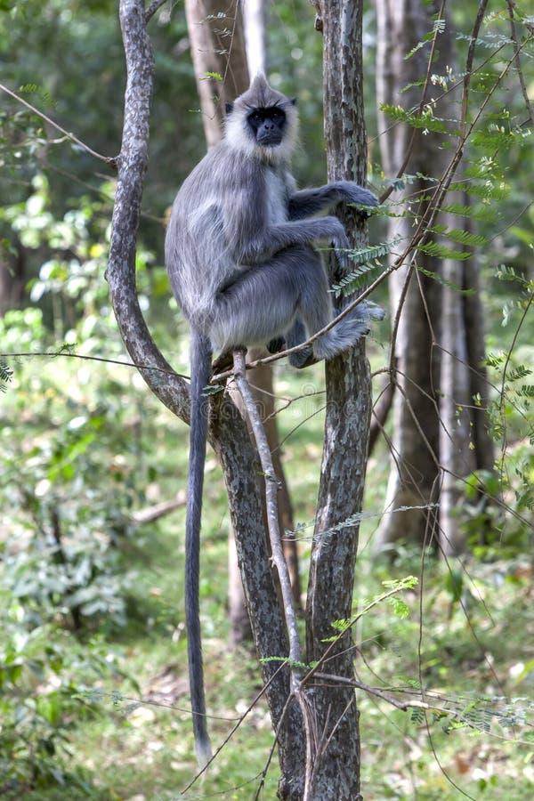 Gray Langur tufté s'assied dans un arbre en parc national de Minneriya photos stock