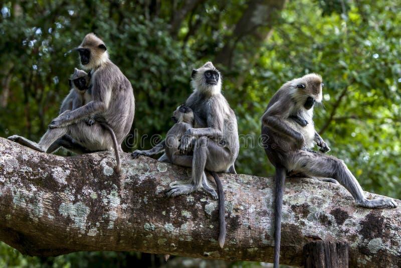 Gray Langurs tufté s'asseyent dans un arbre chez Sigiriya dans Sri Lanka central images stock