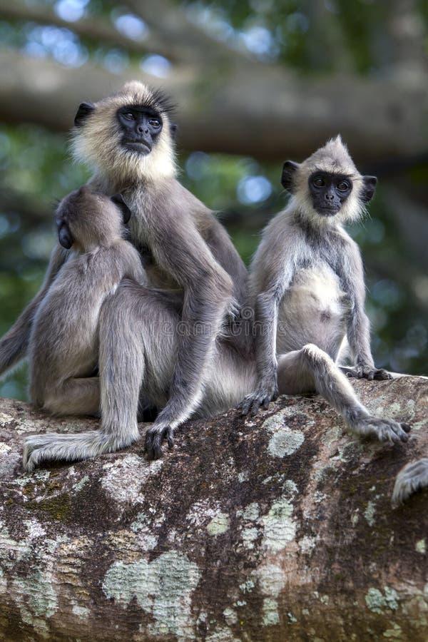 Gray Langurs tufté s'asseyent dans un arbre chez Sigiriya dans Sri Lanka central photographie stock libre de droits
