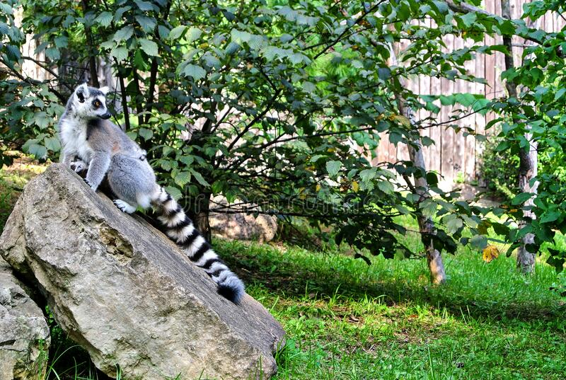 A gray lemur with a striped black and white tail. Sits on a large stone, stares intently to the side, next to green grass and trees, in the summer afternoon stock photography