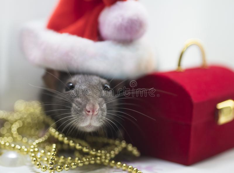 A gray little mouse, a New Year`s cap on the head of a mouse is a Santa Claus santa. royalty free stock images