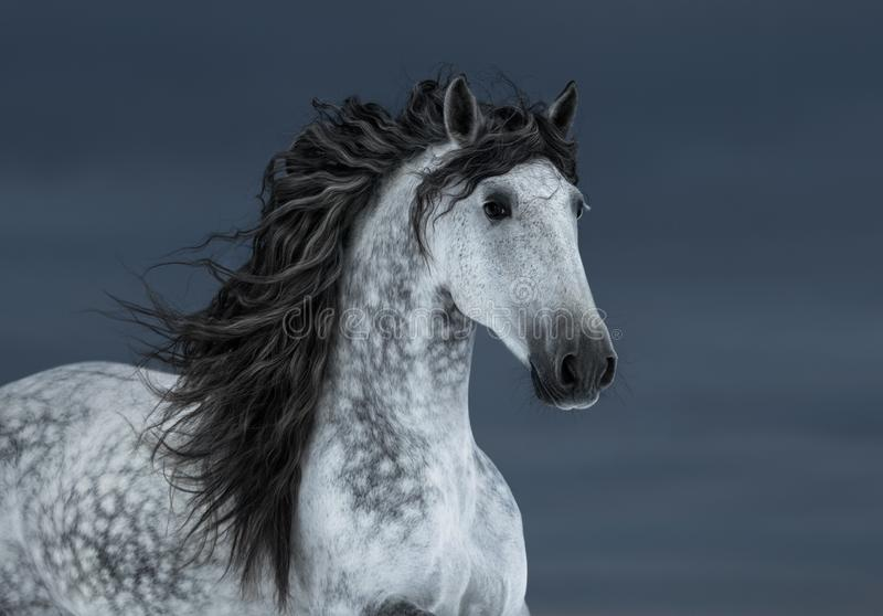 Gray long-maned Andalusian Horse in motion on dark cloud sky. Portrait of gray long-maned Andalusian Horse in motion on dark cloud sky royalty free stock images