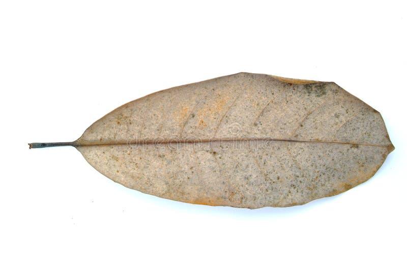 Gray magnolia leaf royalty free stock photos