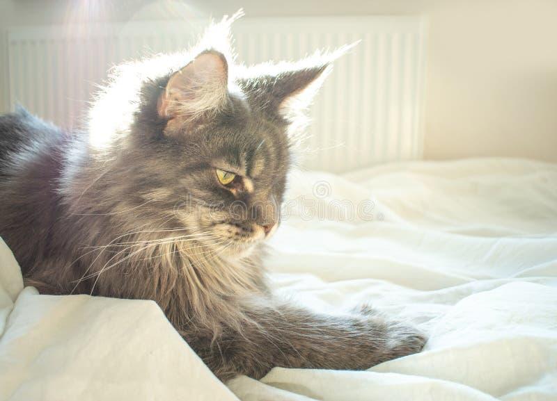 Gray Maine Coon-Katze liegt auf Bett Das flaumige Haustier bequem vereinbart, um zu schlafen oder zu spielen Netter gem?tlicher H lizenzfreies stockfoto