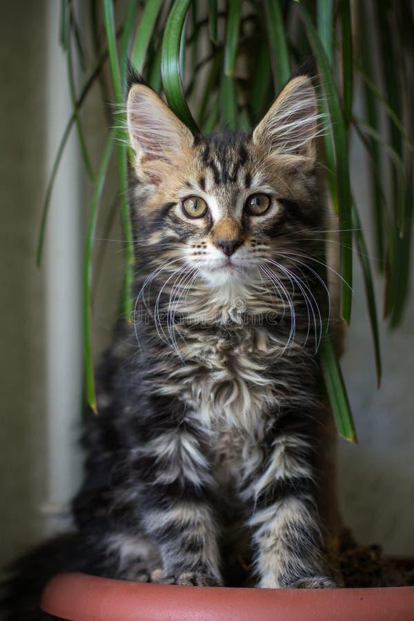 Gray Maine Coon Kitten hemma royaltyfria bilder