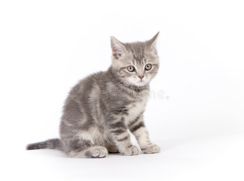 Gray marmoreal scottish breed kitten stock photography