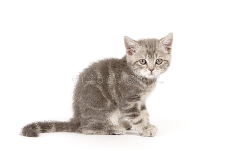 Gray marmoreal scottish breed kitten royalty free stock image
