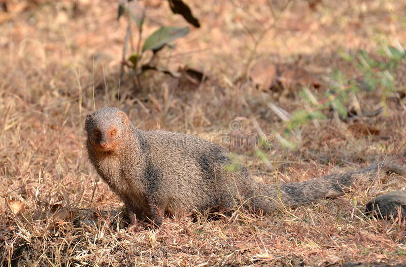 Gray Mongoose fotografia stock