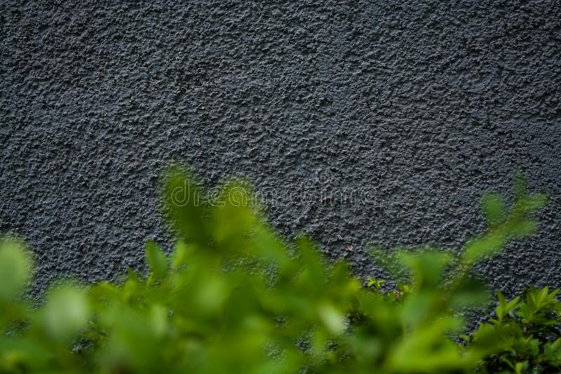 Gray monophonic background or texture with roughness. Blue shade. Plaster on a wall. Bright green leaves of bushes. royalty free stock images