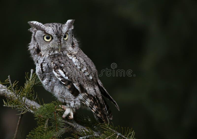 Gray Morph Eastern Screech Owl lizenzfreies stockbild