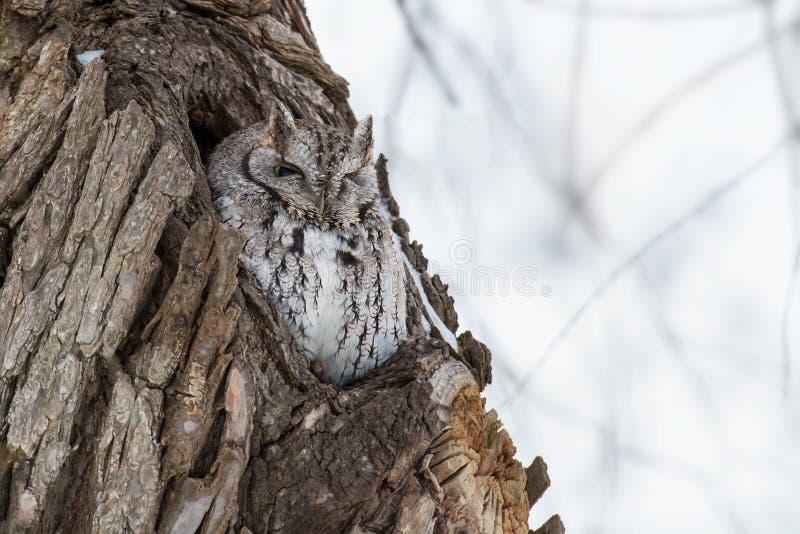Download Eastern Screech Owl stock image. Image of beak, morph - 109593451