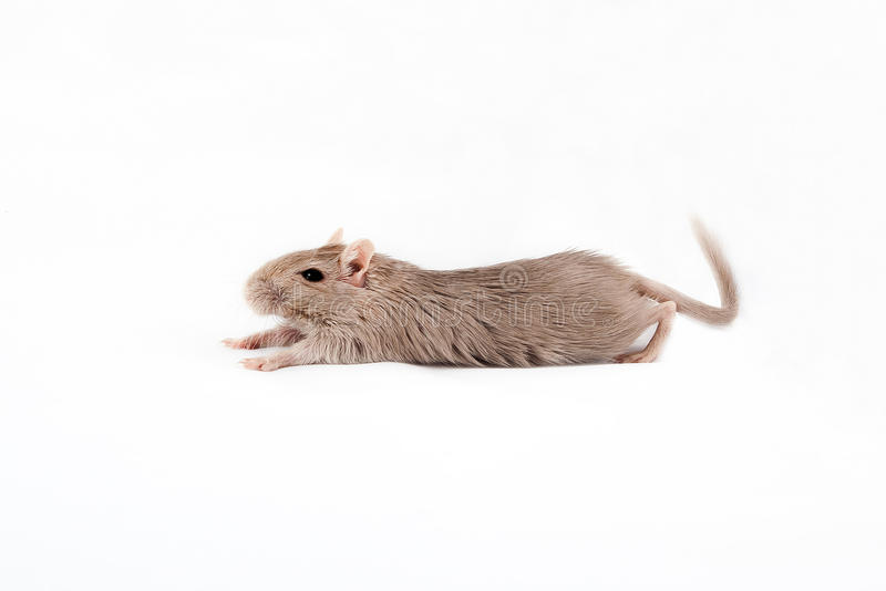 Gray mouse gerbil lying royalty free stock photo