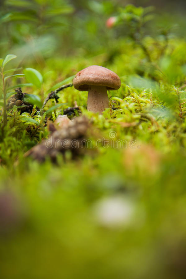 Download Gray mushroom stock image. Image of herb, season, mushroom - 42268867