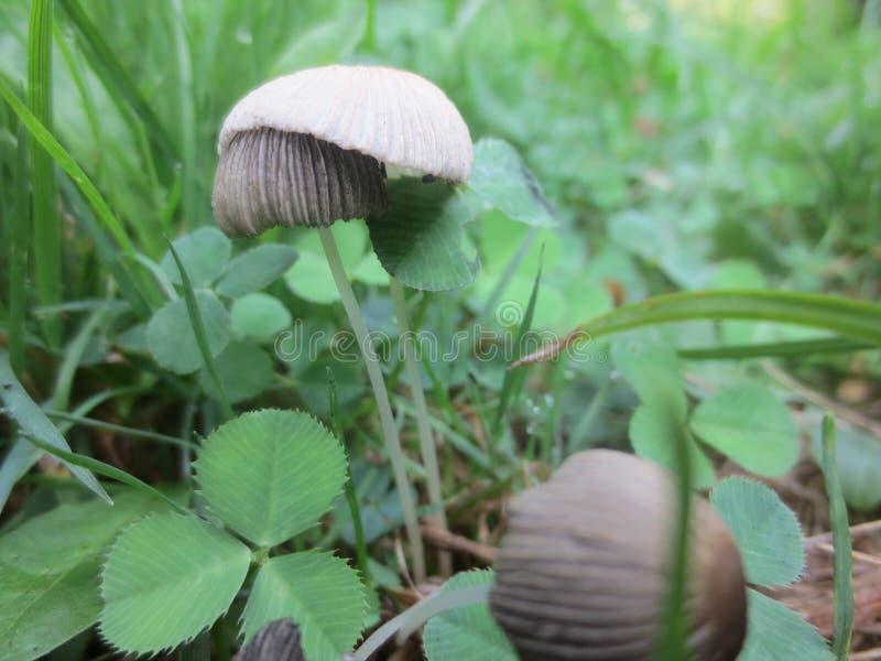 Gray Mushrooms minúsculo imagens de stock