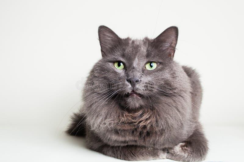 Gray Nebelung Cat foto de archivo libre de regalías